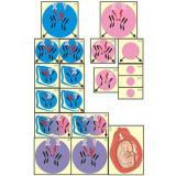Модель-аппликация Гаметогенез у человека и млекопитающих