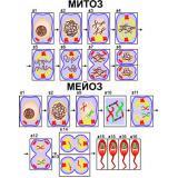 Модель-аппликация Деление клетки. Митоз и мейоз
