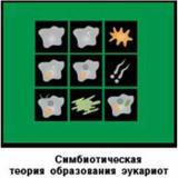 Модель-аппликация Симбиотическая теория образования эукариот