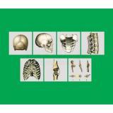 Модель-аппликация Типы соединения костей